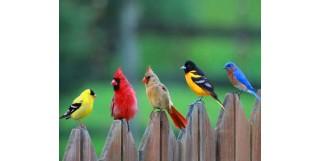 Muhabbet Kuşlarında Cinsiyet Ayırımı